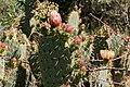 Opuntia engelmannii-Figuier de barbarie-Raquette-20160427.jpg