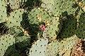 Opuntia ficus indica Spain.jpg