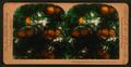 Orange Blossoms and Fruit, Los Angeles, Cal., U.S.A, by Singley, B. L. (Benjamin Lloyd) 4.png