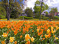 Orange Tulip horizons.jpg