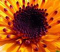 Orange flower anther macro (7963821830).jpg