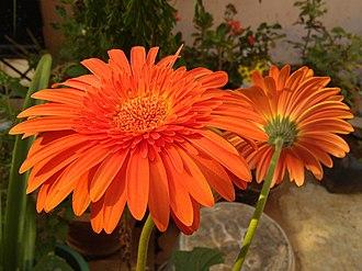 Gerbera - Image: Orange gerbera Daisy