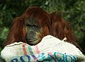 Orangutan (4254560404).jpg