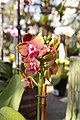Orchid flowers - panoramio (1).jpg