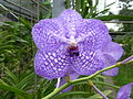 Orchids in Thailand 2013 2739.jpg
