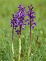 Orchis mascula (trio).jpg