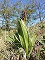 Orchis purpurea sl47.jpg