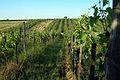 Organic-Vineyard-Austria-Neusiedlersee.jpg