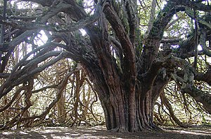 Ninian Cockburn - Ancient yew tree at the site of Ormiston House