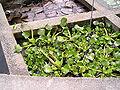 OrtoBotPadova Eichhornia crassipes.jpg