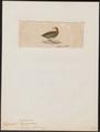 Ortygometra pulchra - 1820-1863 - Print - Iconographia Zoologica - Special Collections University of Amsterdam - UBA01 IZ17500109.tif