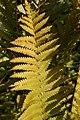 Osmunda cinnamomea 18zz.jpg
