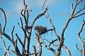 Osprey nest in tree skeleton (Cayo Costa Island, Florida, USA) (25943315905).jpg