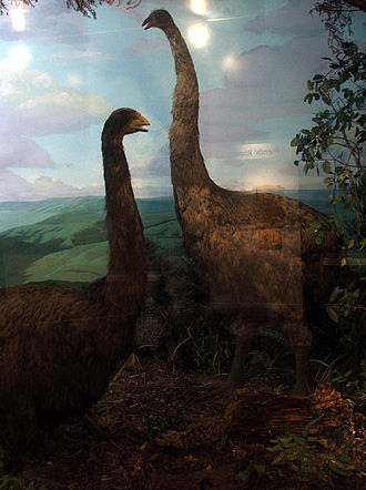 Otago Museum - Reconstructed moa. The museum holds the world's largest collection of moa remains.