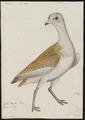 Otis tarda - 1743-1817 - Print - Iconographia Zoologica - Special Collections University of Amsterdam - UBA01 IZ17200009.tif