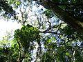 Outeniqua Yellow-wood 02 (3544712713).jpg