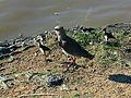 Pássaros em Porto Alegre 007.JPG