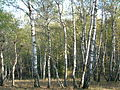 Pădurea de argint Dobreni 05.JPG