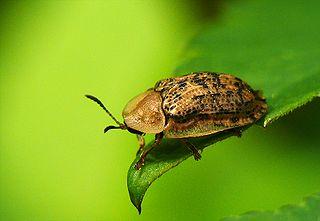 <i>Cassida</i> Genus of beetles