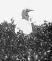 PSM V63 D334 Bush gannet on nest.png