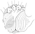 PSM V63 D404 Left palm diagram with descriptive interpretation.png