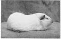 PSM V76 D424 Albino female guinea pig.png