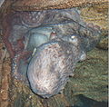 Pacific-octopus-cropped.jpg