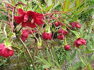 Paeonia delavayi - habit of a maroon-colored specimen
