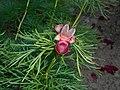 Paeonia tenuifolia 2016-05-20 0918.jpg
