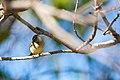Palm warbler (32852035210).jpg