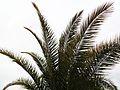 Palme - panoramio (4).jpg