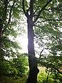 Památné stromoví Bransoudov 14.jpg