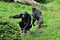 Pan troglodytes - Serengeti-Park Hodenhagen 02.jpg