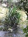 Pandanus fascicularis-3-mundanthurai-tirunelveli-India.jpg