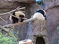 Pandas at the San Diego Zoo.jpg