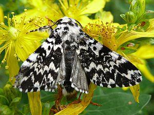Noctuidae - Panthea coenobita