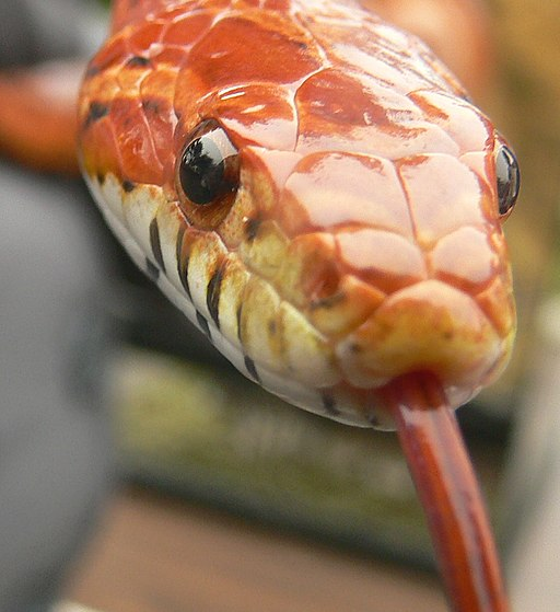 Pantherophis guttatus Head