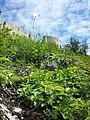 Papaver dubium subsp. austromoravicum sl11.jpg