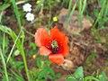Papaver hibridum Var. minima FlowerCloseup 2009-4-28 DehesaBoyalPuertollano.jpg