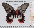 PapilioDeiphobusRumanzoviaFUpUnAC1.jpg