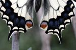 PapilioMachaon détail 02.png