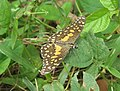 Papilio demoleus – Lime Swallowtail - Lime butterfly from Peravoor 01.jpg