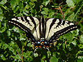 Papilio eurymedon 000.jpg