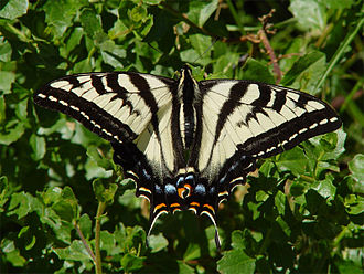 Huckleberry Botanic Regional Preserve - Pale Swallowtail butterfly (Papilio eurymedon) at the Huckleberry Botanic Preserve