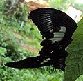 Papilio helenus - Red Helens mating 03.JPG