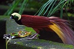 Paradisaea apoda -Bali Bird Park-6.jpg