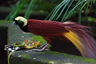 Bird-of-paradise - Male greater bird-of-paradise