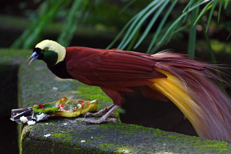 Paradisaea apoda -Bali Bird Park-6