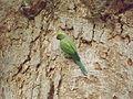 Parakeet at Giza Zoo by Hatem Moushir 40.JPG
