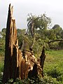 Parco-Villa-Reale-tronco-spezzato-02.jpg